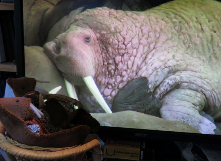 Walrus!