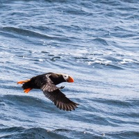 Seeking Tufted Puffins