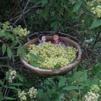 April Elderflowers